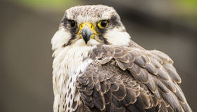 Laggar falcon Stock Images