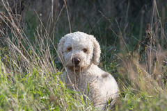 Laggoto romagnolo, truffle hunter stock images