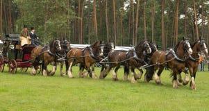 Lagledare som dras av åtta grevskaphästar Royaltyfri Bild