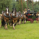 Lagledare som dras av 8 grevskaphästar Royaltyfria Foton