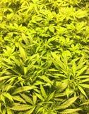 lagliga marijuanaväxter som växer - hav av gräsplan Royaltyfria Bilder