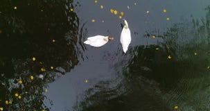 Lago aéreo da lagoa das cisnes do outono do parque filme