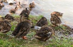 Lago Abrau do close-up de Duck Mallard na região de Krasnodar Rebanho de patos comuns fotos de stock