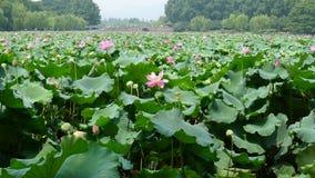 Lago ad ovest hangzhou con i fiori di loto Fotografie Stock Libere da Diritti