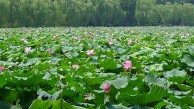 Lago ad ovest hangzhou con i fiori di loto Fotografia Stock Libera da Diritti