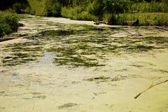 Lago algae verdi Immagini Stock Libere da Diritti
