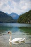 Lago alps con el cisne Foto de archivo
