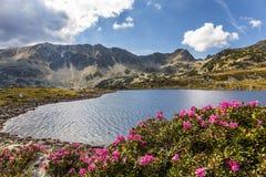 Lago, alte montagne e fiori alpini del rododendro del lpink, Carpathians, Romania Immagini Stock