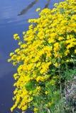 Lago amarelo da flor Imagem de Stock Royalty Free
