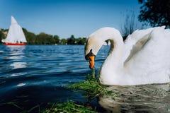 Lago bianco Alster dello swanon di tolleranza un giorno soleggiato a Amburgo Immagini Stock Libere da Diritti