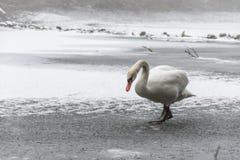 Lago bianco come la neve 15 del ghiaccio della passeggiata dell'uccello del cigno della terra di inverno Fotografia Stock Libera da Diritti
