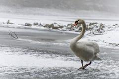 Lago bianco come la neve 13 del ghiaccio della passeggiata dell'uccello del cigno della terra di inverno Fotografie Stock