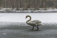 Lago bianco come la neve 21 del ghiaccio della passeggiata dell'uccello del cigno della terra di inverno Fotografie Stock Libere da Diritti