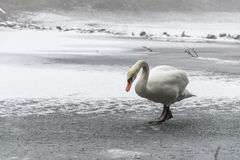 Lago blanco como la nieve 15 del hielo del paseo del pájaro del cisne de la tierra del invierno Foto de archivo libre de regalías
