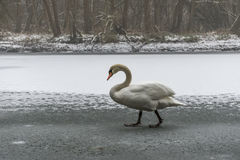Lago blanco como la nieve 21 del hielo del paseo del pájaro del cisne de la tierra del invierno Fotos de archivo libres de regalías