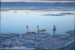 Lago bonito Balaton com três cisnes fotos de stock