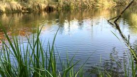 Lago calmo con le ondulazioni e l'erba molli sulla riva del fiume Ondulazioni e riflessione sullo stagno o sulla palude di superf stock footage