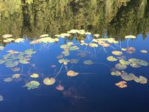 Lago che rispecchia le piante acquatiche Immagine Stock