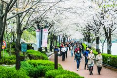 Lago Cherry Blossom Festival Seokchonhosu fotografie stock