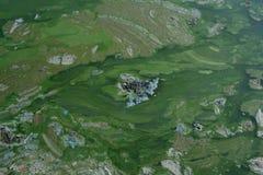 Lago coberto com as algas Imagem de Stock