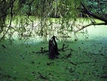 Lago coberto com a lentilha-d'água comum Fotografia de Stock