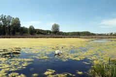 Lago com cisne. Fotos de Stock