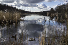 Lago com gansos fotos de stock