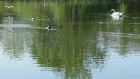 Lago con gli uccelli stock footage