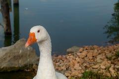 Lago con l'anatra su priorità alta Fotografie Stock