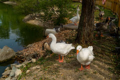 Lago con l'anatra su priorità alta Fotografie Stock Libere da Diritti