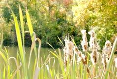 Lago con le canne il giorno soleggiato Immagine Stock Libera da Diritti