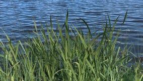 Lago con le erbacce video d archivio