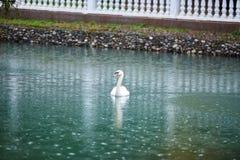 Lago con los cisnes fotografía de archivo libre de regalías