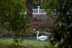 Lago con los cisnes foto de archivo