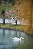 Lago con los cisnes imagen de archivo