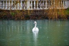 Lago con los cisnes fotos de archivo