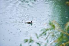 Lago con los cisnes fotos de archivo libres de regalías