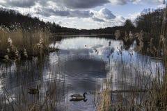 Lago con los gansos Fotos de archivo