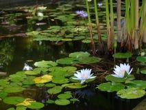 Lago con los lotuses Imágenes de archivo libres de regalías