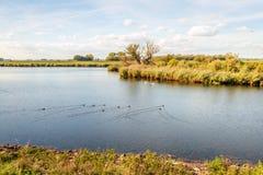 Lago con los pájaros de agua de la natación fotos de archivo