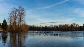 Lago congelado con los patos en pequeña zona abierta Foto de archivo libre de regalías