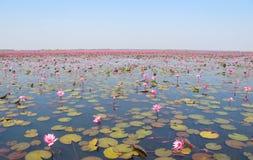 lago cor-de-rosa dos lótus Fotografia de Stock
