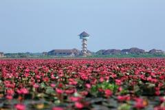 lago cor-de-rosa dos lótus Imagens de Stock