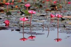 lago cor-de-rosa dos lótus Fotos de Stock Royalty Free