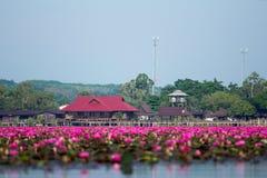lago cor-de-rosa dos lótus Imagem de Stock Royalty Free