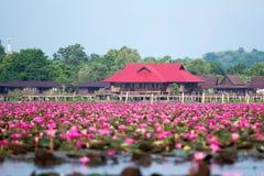 lago cor-de-rosa dos lótus Foto de Stock