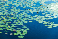 Lago cubierto en vainas del lirio Imagen de archivo libre de regalías