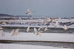 Lago da cisne de Rongcheng fotografia de stock
