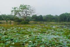Lago Dawn Water Lily National Park Wilpattu foto de archivo
