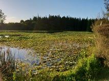 Lago de almofadas de lírio imagens de stock royalty free
